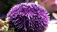 Purple Sea Urchin underwater Stock Footage