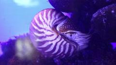 Nautilus, pelagic marine mollusc underwater Stock Footage