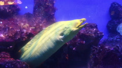 Giant Moray Eel underwater Stock Footage