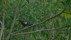 Blue-throated Piping-Guan - stock footage