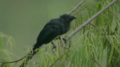 Giant cowbird in the Peruvian rainforest Stock Footage