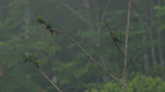 Scarlet macaws sitting on tree Stock Footage