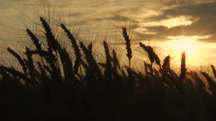Spikelets silhouettes on sunset background. Real time. Stock Footage