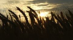 Wheat ears at sunset. Real time. Stock Footage
