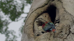 Red-and-green macaw in the nest Stock Footage