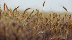 Wheat ears in field close-up. Real time. Arkistovideo