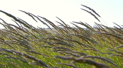 Stems field grass swaying in the wind. Real time. Stock Footage