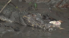 Black caiman in the Peruvian rainforest Stock Footage
