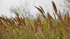 Field grass sways in the wind close-up. Real time. Stock Footage