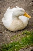 Lazy duck on a ground on a farm Stock Photos