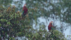 Red-and-green macaw in tree, Slowmotion Stock Footage