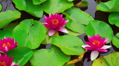 Nymphaea aquatic plant Stock Footage