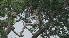 Red-and-green macaw in tree Stock Footage