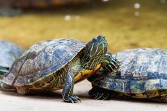 The pond slider (Trachemys scripta), common, medium-sized semi-aquatic turtle Stock Photos