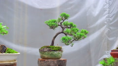 Bonsai tree grow in container Stock Footage
