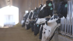 Dairy cows feeding in barn Stock Footage
