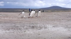 Gentoo penguins running on the beach at Volunteer Point, Falkland Islands Stock Footage