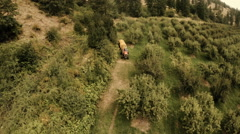 Orchard Aerial: Tractor Spraying Fruit Trees Pre Harvest For Picking - stock footage