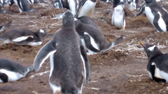 Colony of Gentoo penguins (Pygoscelis papua) at Volunteer Point Stock Footage