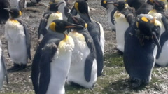 Colony of King Penguins at Volunteer Point, Falkland Islands Stock Footage