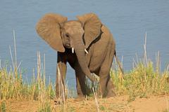 African elephant in natural habitat Stock Photos