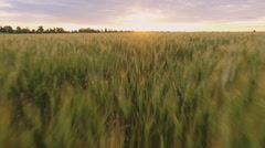 Close up of spikelets field at sunset. Slow motion. Aerial view Stock Footage