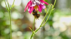 Bumblebee on aquilegia flower Stock Footage