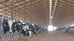 Dairy cows eating feed in long barn Stock Footage