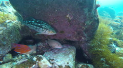 Fish and Sea Urchins Hiding Under a Rock Stock Footage