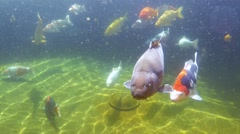 Koi carp under water - stock footage