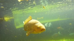 Koi carp under water Stock Footage