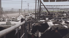 Dairy cows in dusty paddock Stock Footage