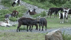 Wild Goats Locking Horns Stock Footage