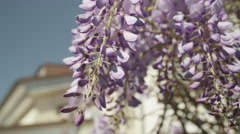 SLOW MOTION CLOSE UP DOF: Beautiful blooming wisteria flowers on front porch Stock Footage