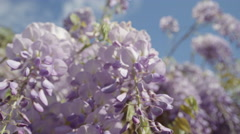 SLOW MOTION CLOSE UP DOF: Beautiful blooming wisteria flowers on house pergola Stock Footage