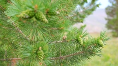 Pine branch with green cones with a focus Stock Footage