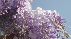 SLOW MOTION CLOSEUP DOF: Beautiful purple wisteria flowers blooming on sunny day Stock Footage