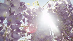 SLOW MOTION CLOSEUP DOF: Summer sunbeams shining through purple wisteria flowers Stock Footage