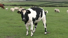 Friesian Cow Stares Stock Footage