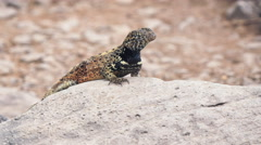 Close up of a lava lizard on isla espanola Stock Footage