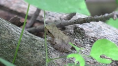 Tiny tree frog sitting on fallen tree branch blends in Stock Footage