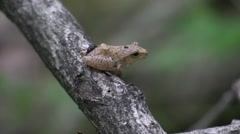 Tiny tree frog sitting on twig in forest Stock Footage