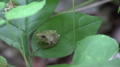 Tiny tree frog sitting on leaf turns and settles down Stock Footage