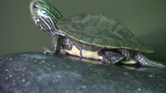 Baby turtle sunning on rock jumps into water Stock Footage
