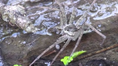 Large spider crawling of wet log in river Stock Footage