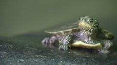 Baby turtle sunning on rock opens mouth looks around Stock Footage
