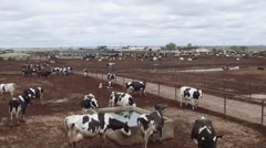 Driving past dairy cattle Stock Footage