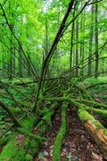 Dead spruce lying moss wrapped among deciduous trees in summer,Bialowieza For Stock Photos