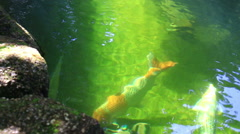 Koi,Fancy carp in pond. Stock Footage