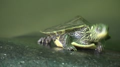 Baby turtle sunning on rock steps forward Stock Footage